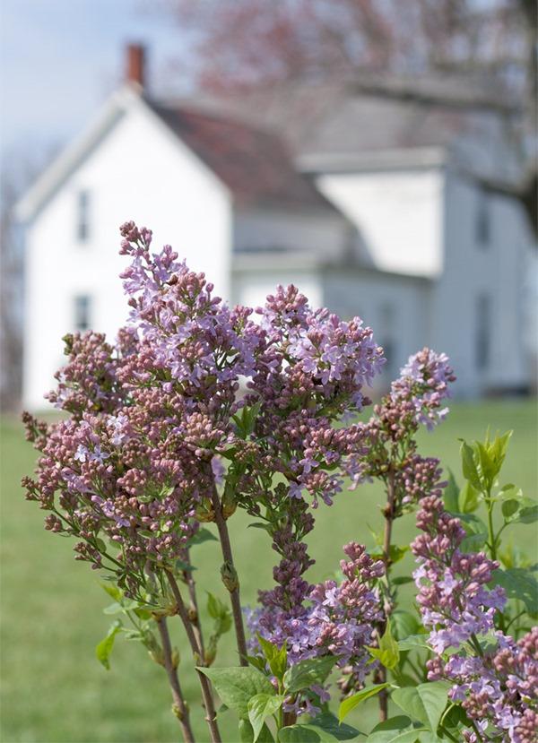 farmhouse-flower-garden-lilac-2